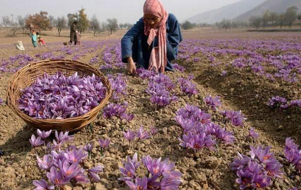 saffron-fram